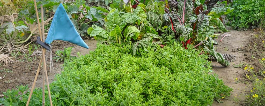 Nieuw-Zeelandse spinazie (1 of 1)