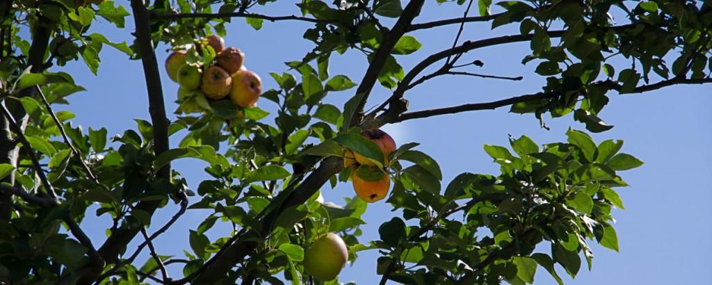 appels (1 of 1)