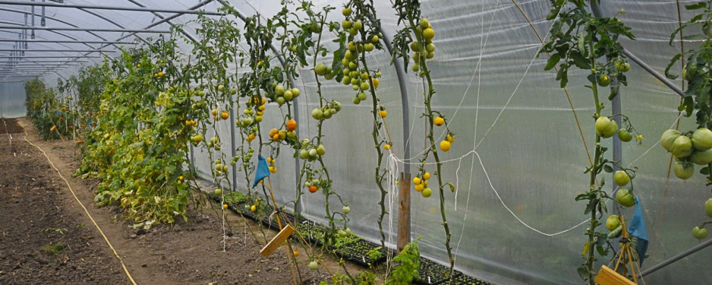 tomaten intunnel (1 of 1)