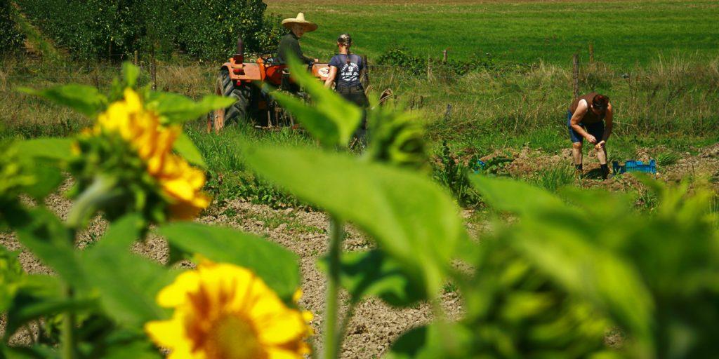 het veld met zonnebloemen (1 of 1)